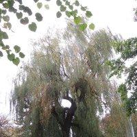 Серия деревья. Осень. :: Вячеслав Медведев