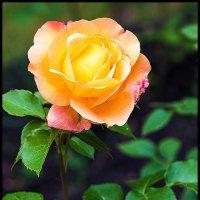 Роза на клумбе :: Любовь Потеряхина