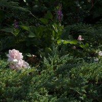 свет на розах :: Александра