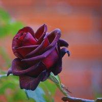 Царица цветов :: Ирина Божко