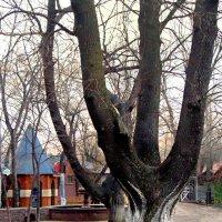 Столетние дубы в детском парке :: Вячеслав Платонов