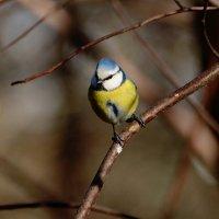 лазоревка в лесу :: linnud