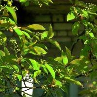Начало цветения черёмухи :: Фотогруппа Весна.