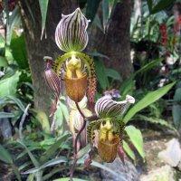 Орхидея Пафиопедилум (Башмачок) :: Елена Павлова (Смолова)