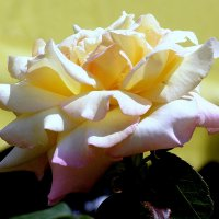 Крымские розы :: Ирина Фирсова
