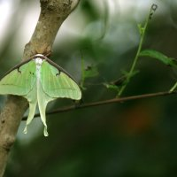Бабочка павлиноглазка :: Мария Самохина
