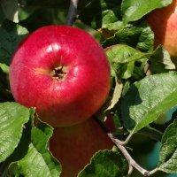 Наливное яблочко. :: Алексей Цветков