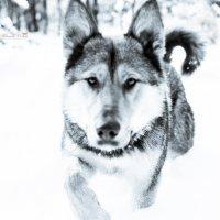 - Почти волк - :: Ольга Шалина