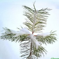Несёт свой крест сосёнка стойко... :: Андрей Заломленков