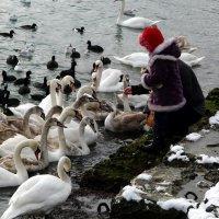 Хлебушек для лебедушек :: Ольга Голубева