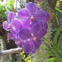 Орхидея Ванда :: Елена Павлова (Смолова)
