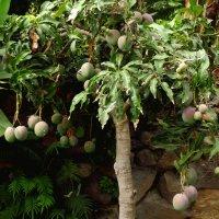 плоды манго зреют :: elena manas