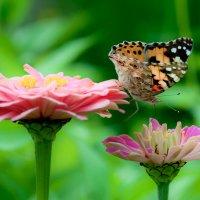 С цветка на цветок :: Наталья Димова