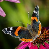 бабочка на цветке :: ник. петрович земцов