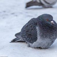 Распушился от холода :: Наталья Верхотурова