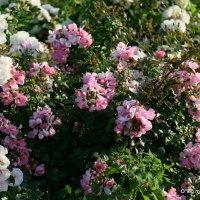 цветочные истории-городские цветы-розы :: Олег Лукьянов