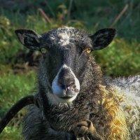 Разыскивается овца... :: Владимир Ильич Батарин