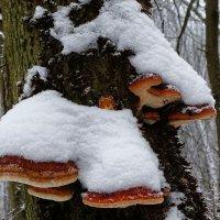 Древесные грибы :: Милешкин Владимир Алексеевич