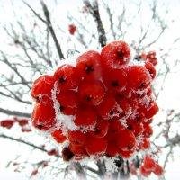 Зимняя рябина. :: nadyasilyuk Вознюк