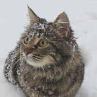 Снежная кошка :: оксана косатенко