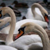 Лебеди :: Сергей Форос