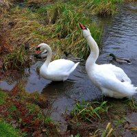 Лебеди на озере :: Nina Yudicheva