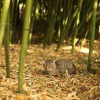 Кот в бамбуке :: Алина Леонова