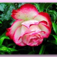 Роса и роза :: Taina Fainberg