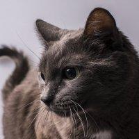 Портрет любимой кошки :: Вадим Жирков
