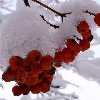 Ягодки в снегу :: Татьяна
