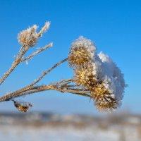 Репей под снегом) :: Сергей Тагиров