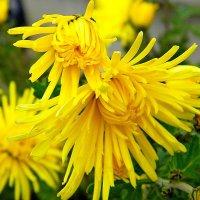 цветы  осени. :: Ivana