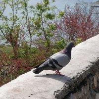 Одинокий голубь :: Александр Рыжов