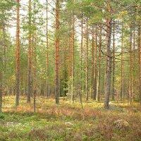 Прозрачный лес :: Ирина Трофимова