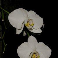 Орхидея :: Сергей Владимирович Егоров