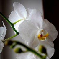 орхидея :: Анна Шишалова