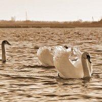 А белый лебедь........ :: Paparazzi