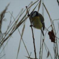 Птичка-синичка :: Виталий