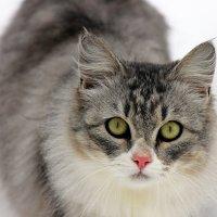 Кошка Мурка. :: оля san-alondra
