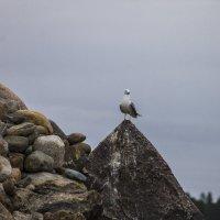 Чайки острова Коневец на Ладожском озере :: Алексей Горский