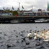 Лебеди Цюриха :: mikhail
