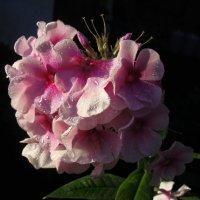 Цветы запоздалые... :: Ирина Румянцева