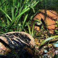 Цихлида-попугай (Pelvicachromis pulcher) во время нереста в гнезде из горшка. :: Владимир Ильич Батарин