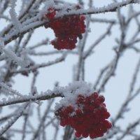 Зимние ягоды... :: Тамара (st.tamara)
