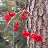 Яркие ягоды калины :: Андрей Снегерёв