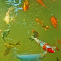 В гостях у золотой рыбки :: Светлана