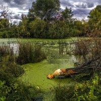 Видимо, бобёр поселился в пруду неподалёку от дачи. :: Vadim Piottukh