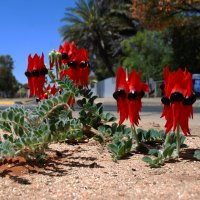 Австралийский степной горошек. :: Лара Гамильтон