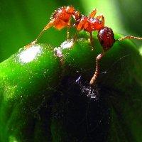 Рыжий муравей. :: оля san-alondra