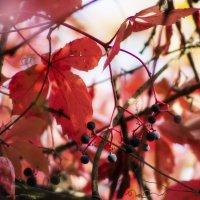 Осенний виноград. :: Svetlana